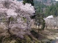 五分咲きの山桜